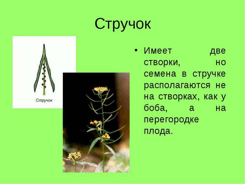 Стручок Имеет две створки, но семена в стручке располагаются не на створках, ...
