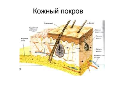 Кожный покров