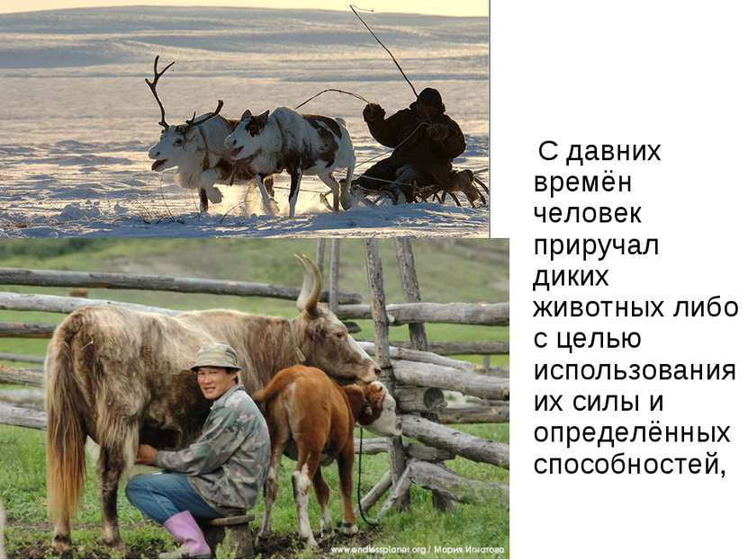 С давних времён человек приручал диких животных либо с целью использования их...