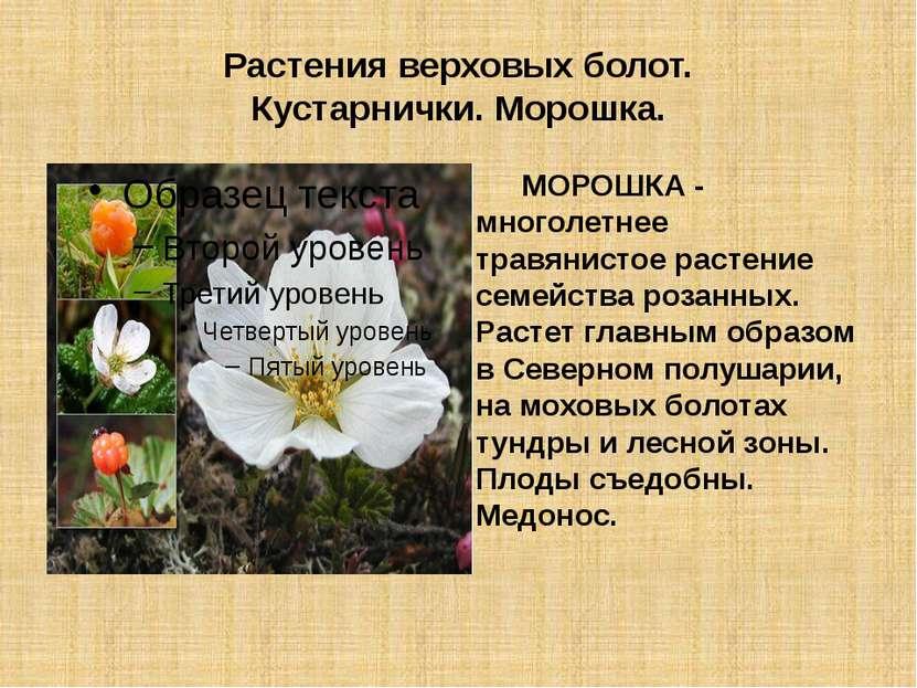 Растения верховых болот. Кустарнички. Морошка. МОРОШКА - многолетнее травянис...