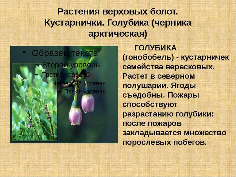 Растения верховых болот. Кустарнички. Голубика (черника арктическая) ГОЛУБИКА...