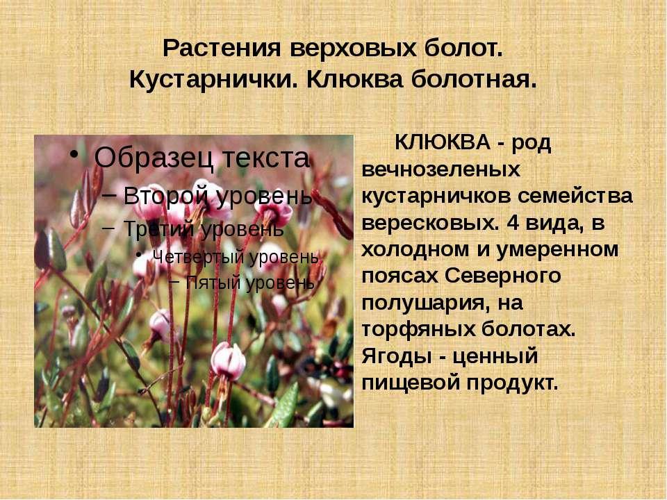 Растения верховых болот. Кустарнички. Клюква болотная. КЛЮКВА - род вечнозеле...