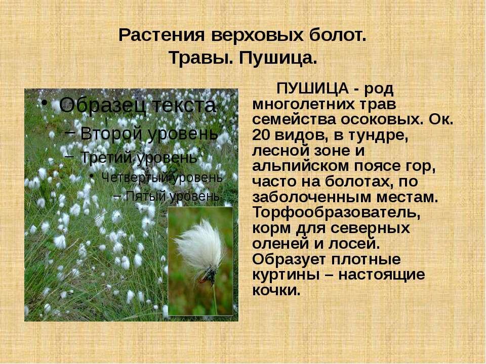 Растения верховых болот. Травы. Пушица. ПУШИЦА - род многолетних трав семейст...