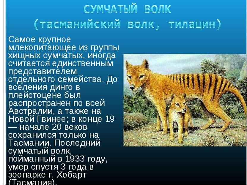 Самое крупное млекопитающее из группы хищных сумчатых, иногда считается единс...