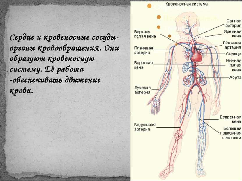 Сердце и кровеносные сосуды-органы кровообращения. Они образуют кровеносную с...