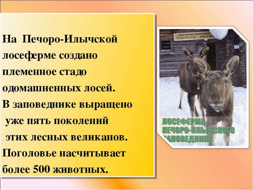 На Печоро-Илычской лосеферме создано племенное стадо одомашненных лосей. В за...