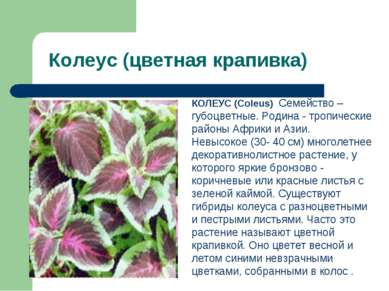 Колеус (цветная крапивка) КОЛЕУС (Coleus) Семейство – губоцветные. Родина - т...