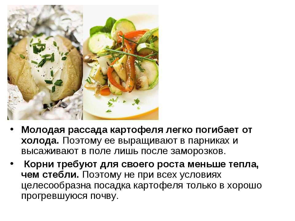 Молодая рассада картофеля легко погибает от холода. Поэтому ее выращивают в п...