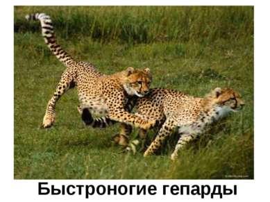 Быстроногие гепарды