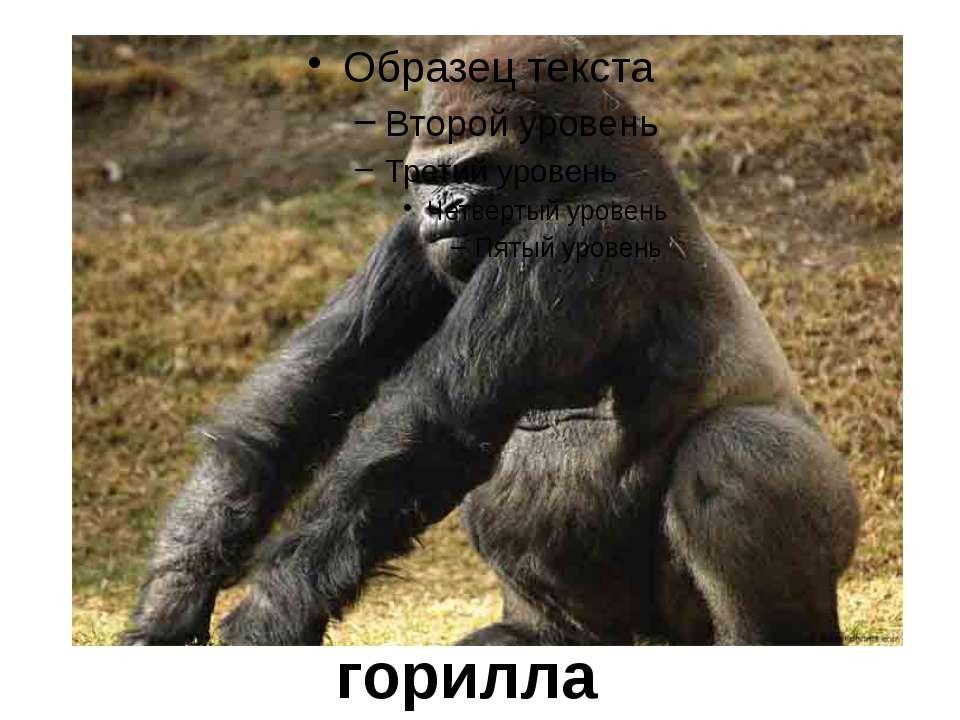горилла
