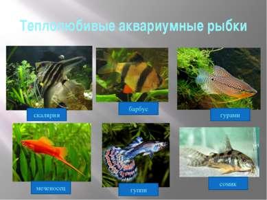 Теплолюбивые аквариумные рыбки гурами сомик барбус гуппи скалярия меченосец