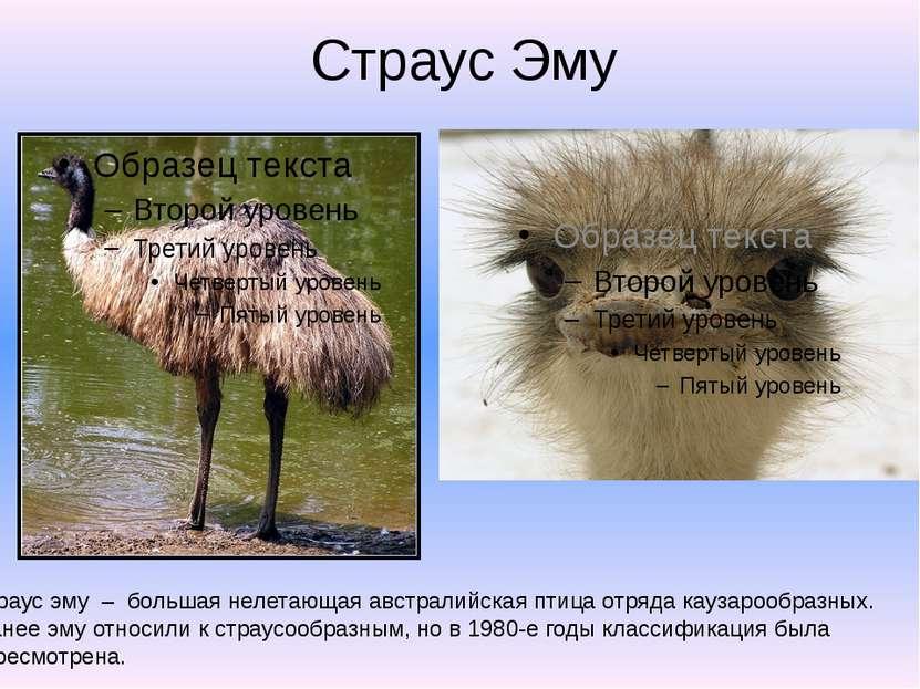 Страус Эму Страус эму – большая нелетающая австралийская птица отряда каузаро...