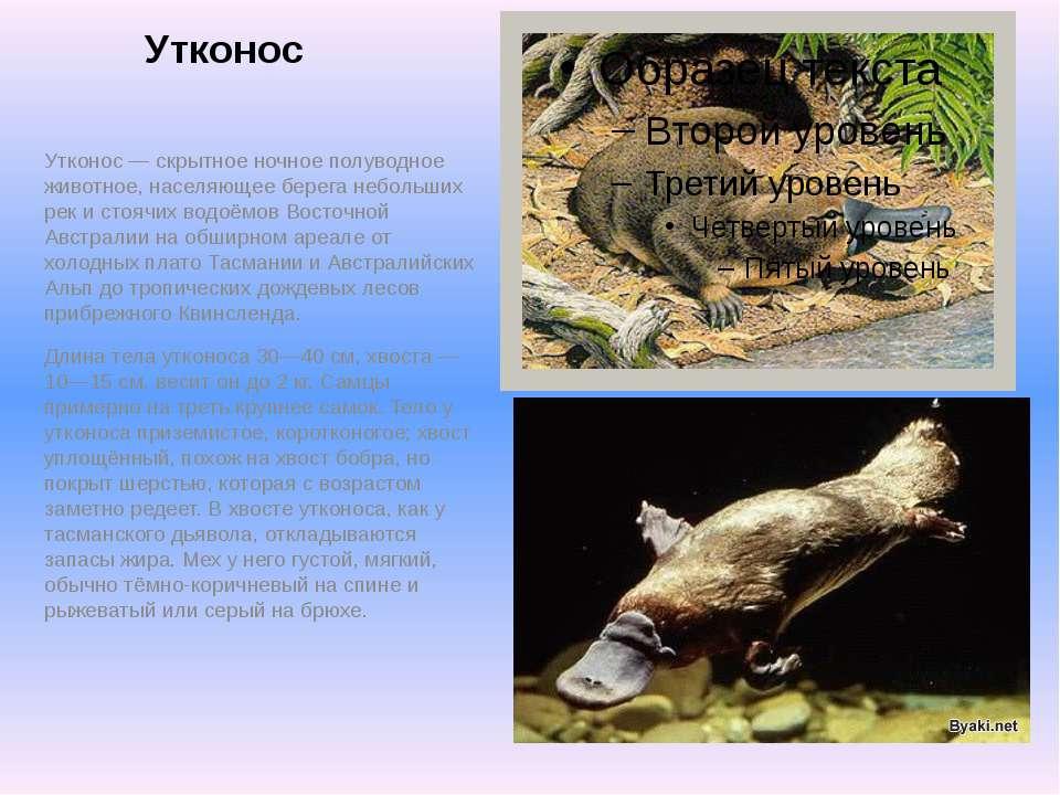 Утконос Утконос — скрытное ночное полуводное животное, населяющее берега небо...