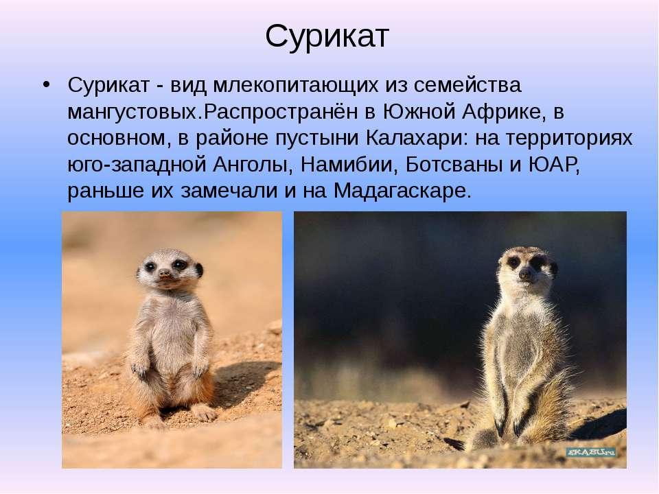 Сурикат Сурикат - вид млекопитающих из семейства мангустовых.Распространён в ...