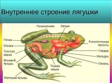 Внутреннее строение лягушки FokinaLida.75