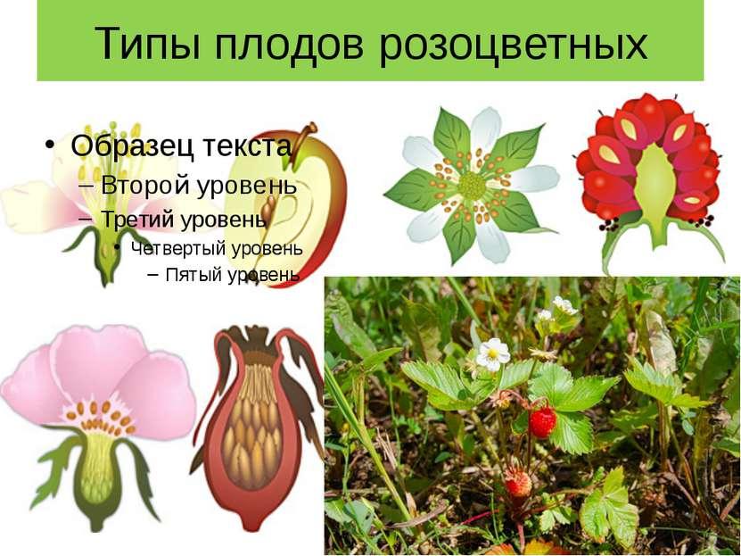 Типы плодов розоцветных