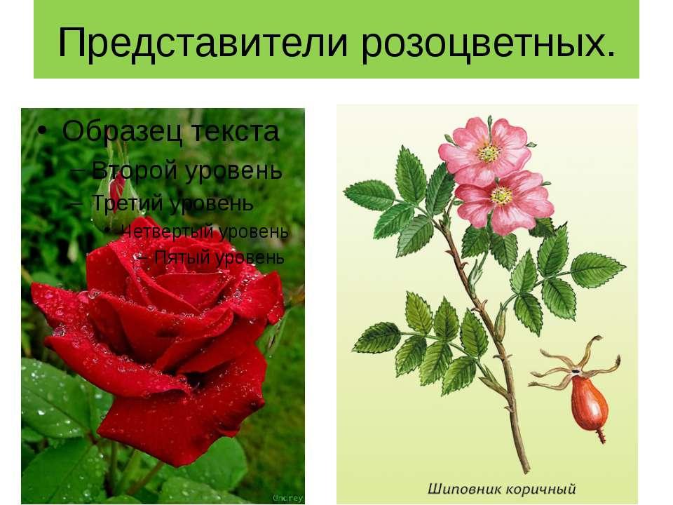 Представители розоцветных.