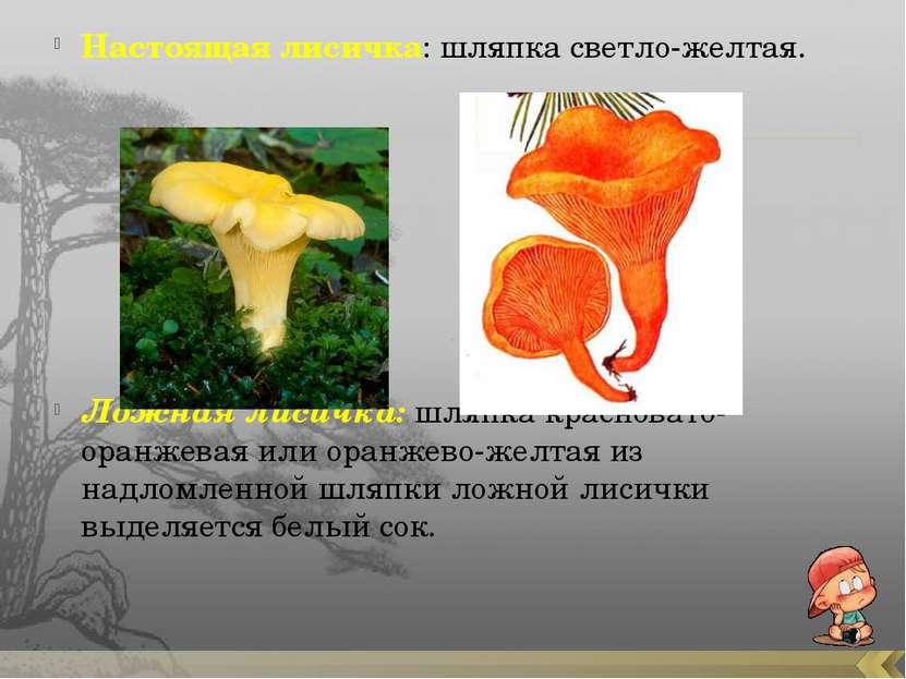 Настоящая лисичка: шляпка светло-желтая. Ложная лисичка: шляпка красновато-ор...