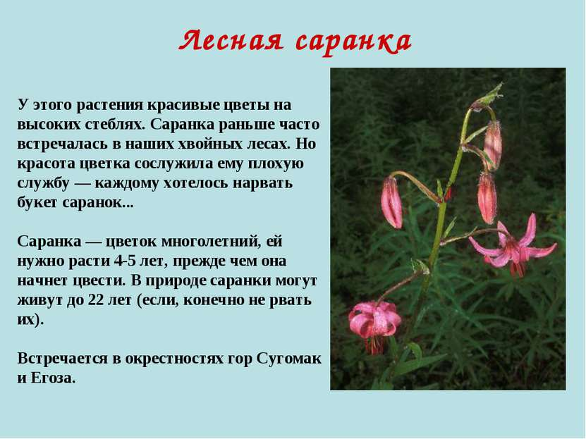 Лесная саранка У этого растения красивые цветы на высоких стеблях. Саранка ра...