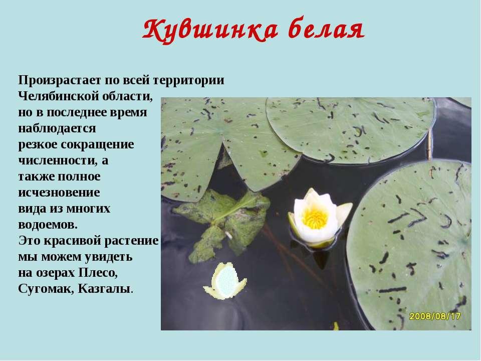 Кувшинка белая Произрастает по всей территории Челябинской области, но в посл...