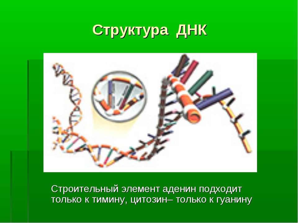 Структура ДНК Строительный элемент аденин подходит только к тимину, цитозин– ...
