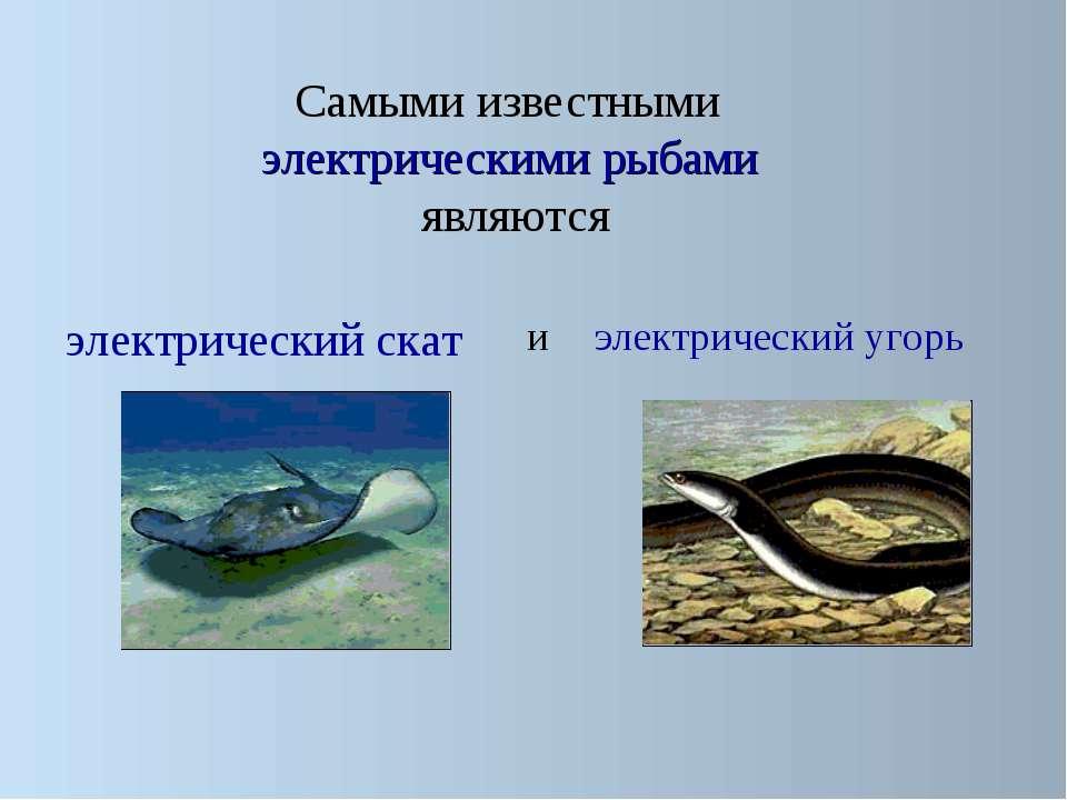Самыми известными электрическими рыбами являются электрический скат электриче...