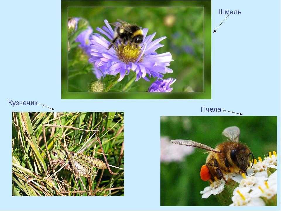 Шмель Пчела Кузнечик