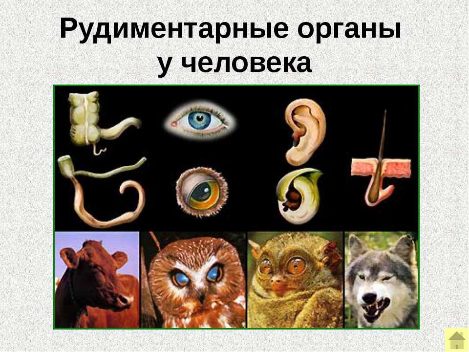 Атавизмы Атавистический орган – это орган (или структура), показывающий «возв...