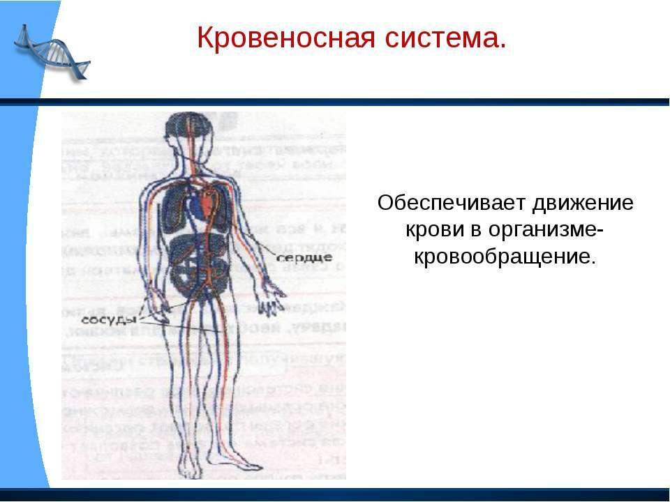 Кровеносная система. Обеспечивает движение крови в организме- кровообращение.