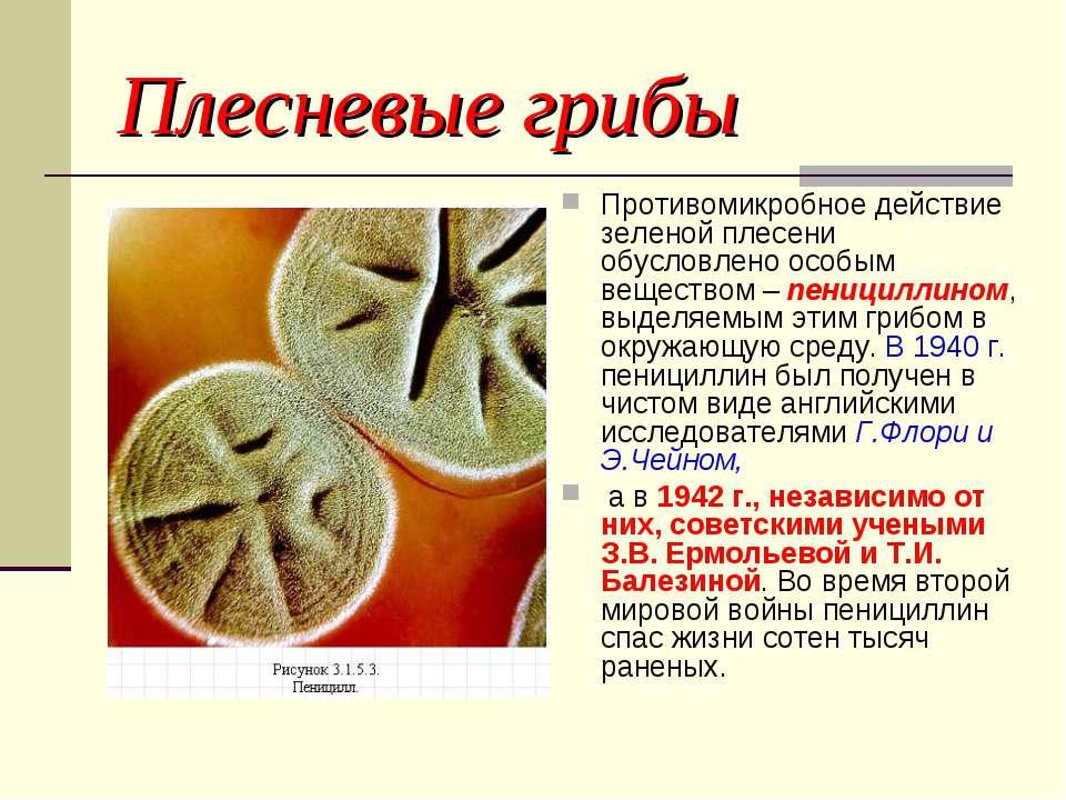 Плесневые грибы Противомикробное действие зеленой плесени обусловлено особым ...