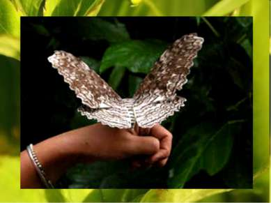 Самая крупная в мире бабочка-агриппина: размах ее крыльев достигает 27 см. Oн...