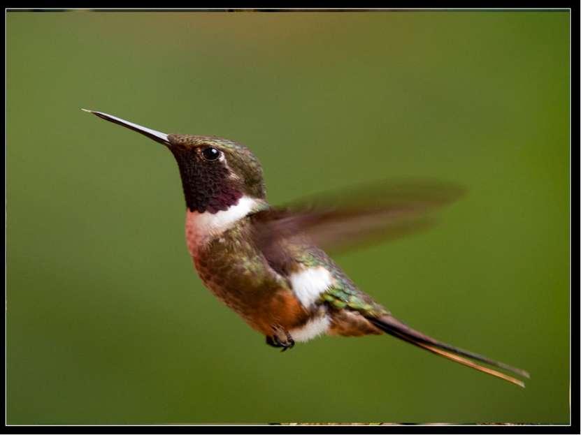 Самая маленькая среди птиц – колибри-шмель: она лишь немного крупнее обычного...