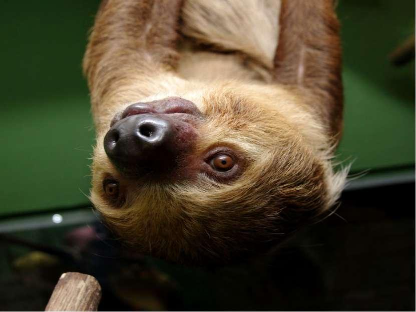 Самое медлительное в мире животное – ленивец. С одной ветки на другую, соседн...
