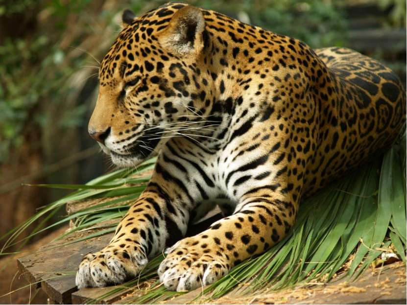 Самый крупный хищник из семейства кошачьих в Южной Америке – ягуар. Он весит ...