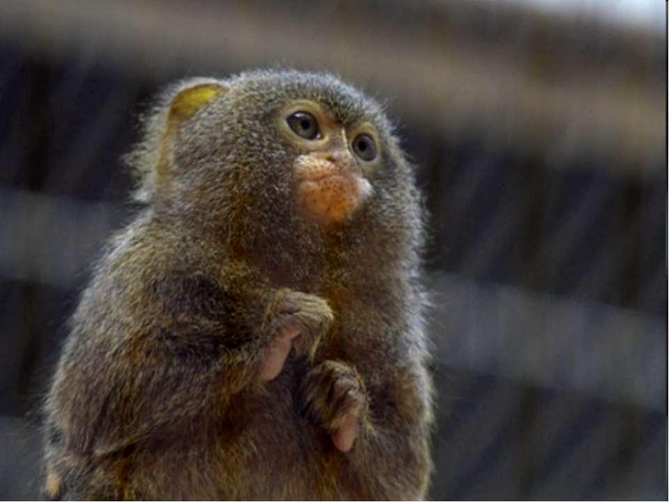 Самые маленькие обезьяны на Земле – игрунки.