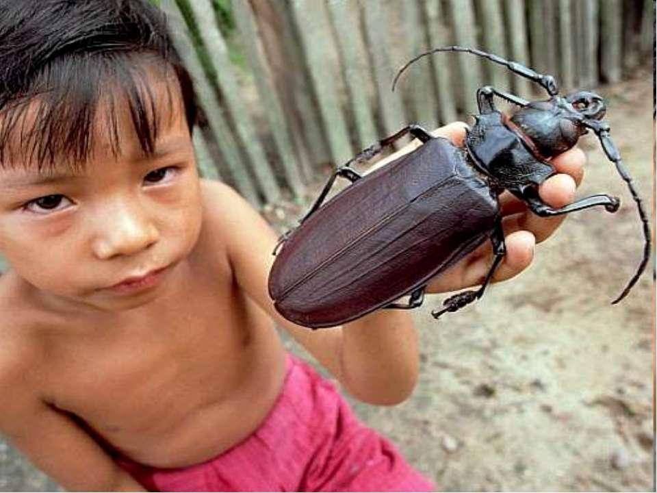 Один из самых больших на Земле жуков — редкое насекомое из Южной Америки — др...