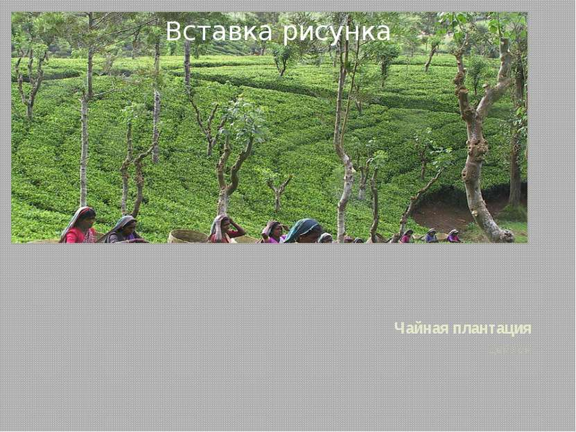 Чайная плантация Цейлон