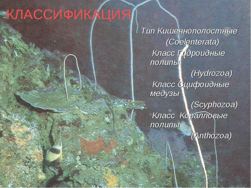 КЛАССИФИКАЦИЯ Тип Кишечнополостные (Coelenterata) Класс Гидроидные полипы (Hy...