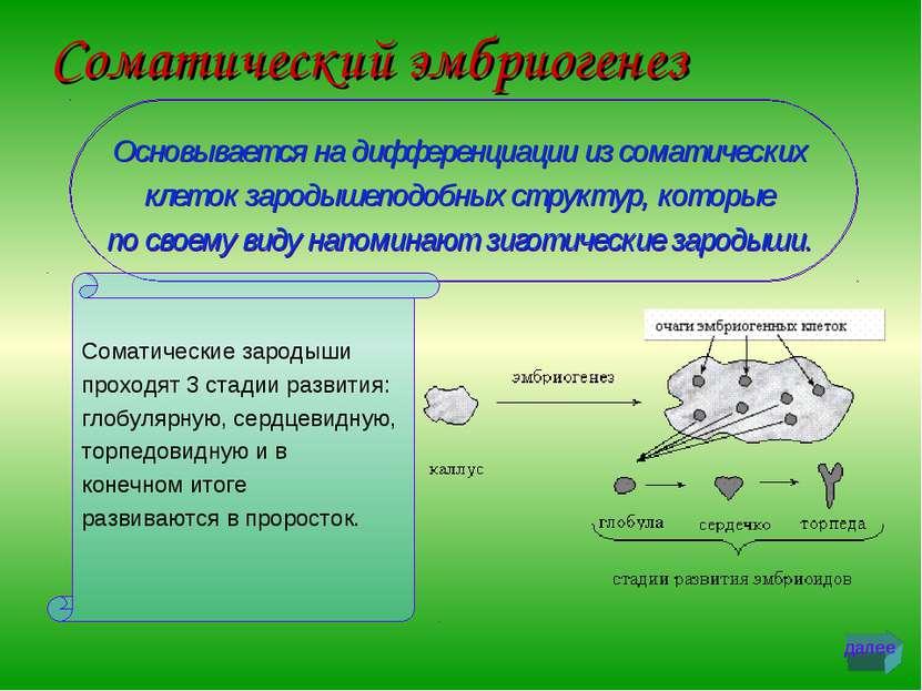 Соматический эмбриогенез Основывается на дифференциации из соматических клето...