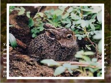 Уже в первый день жизни зайчата, а их рождается от 1-го до 11-ти, способны са...
