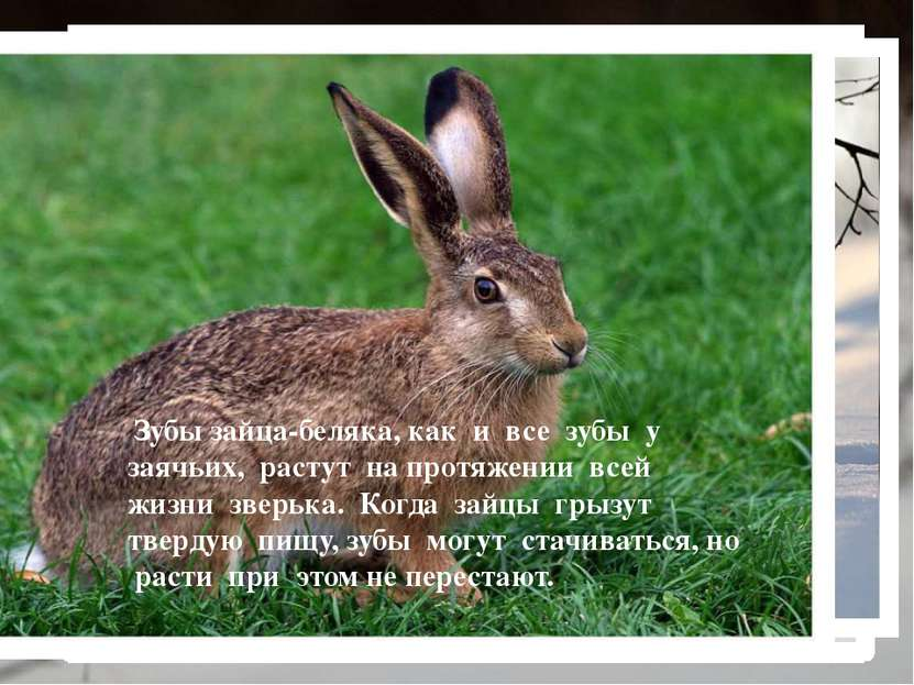 Заяц-беляк — это травоядное животное… Зайцы-беляки не имеют проблем с питание...