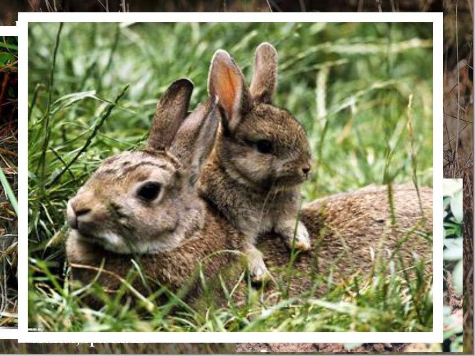 Потомство зайца-беляка… Потомство зайчихи приносят три раза в год. Но в Якути...