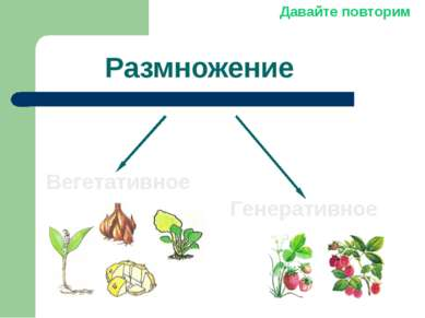 Размножение Вегетативное Генеративное Давайте повторим