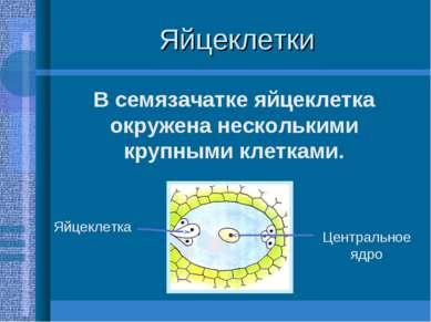Яйцеклетки В семязачатке яйцеклетка окружена несколькими крупными клетками. Я...