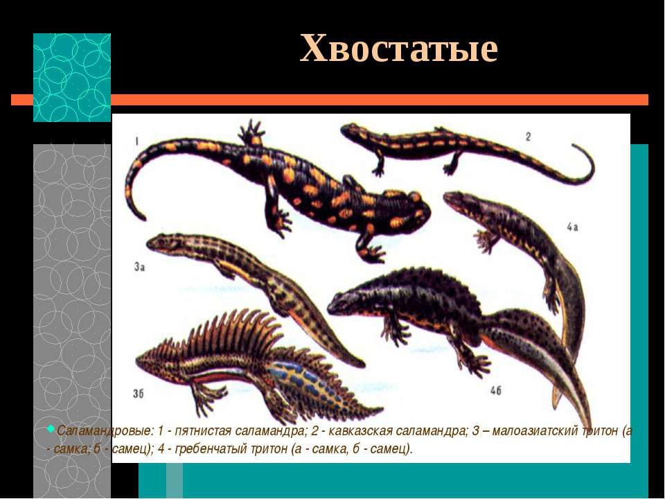 Хвостатые Саламандровые: 1 - пятнистая саламандра; 2 - кавказская саламандра;...