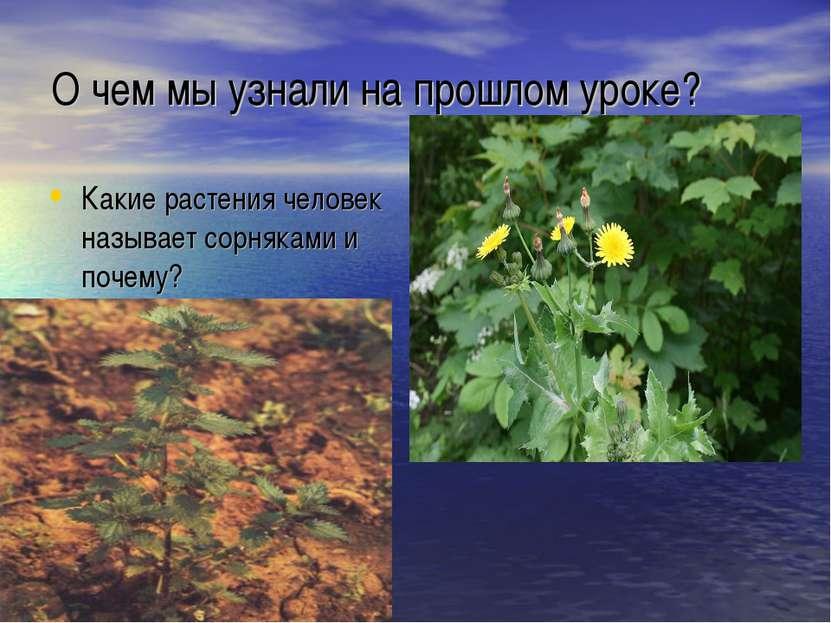 О чем мы узнали на прошлом уроке? Какие растения человек называет сорняками и...