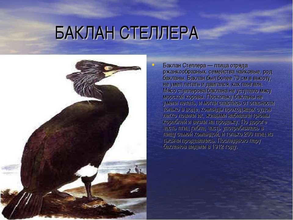БАКЛАН СТЕЛЛЕРА Баклан Стеллера — птица отряда ржанкообразных, семейства чайк...