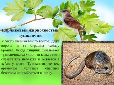 Карликовый жирнохвостый тушканчик У этого зверька много врагов, даже ворона и...
