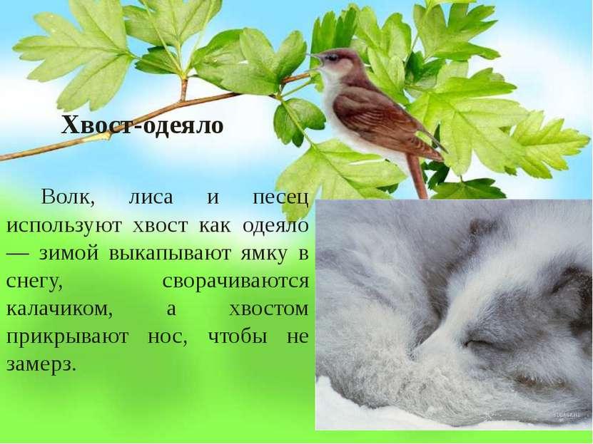 Хвост-одеяло Волк, лиса и песец используют хвост как одеяло — зимой выкапываю...