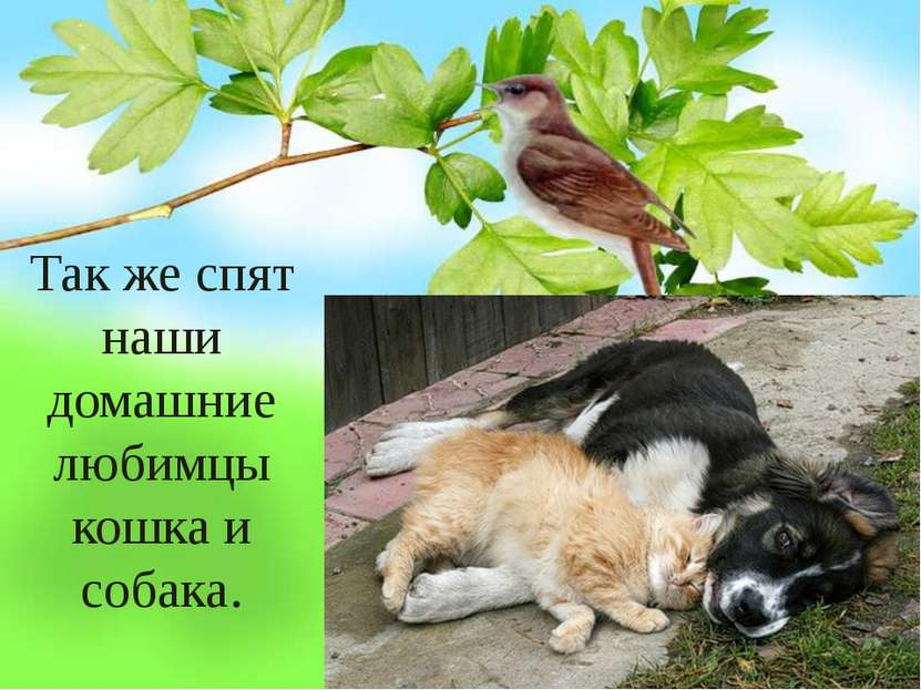 Так же спят наши домашние любимцы кошка и собака.